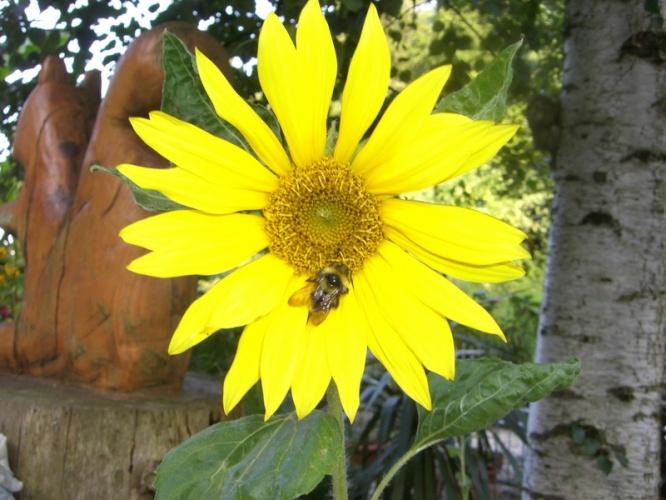 05_Sonnenblume